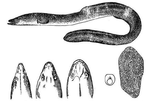 Рис. 34. Угорь. Внизу — три различных формы головы, поперечный разрез рыбы и ее чешуйка (сильно увеличенная).