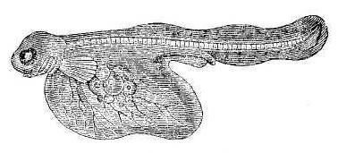 Рис. 55. Молодая форелька (увелич.).
