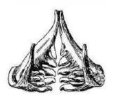 Рис. 108. Глоточные зубы усача.