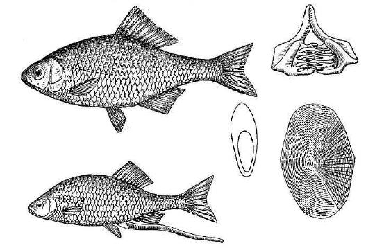Рис. 141. Горчак. Внизу — самка с яйцекладом, справа — нижнеглоточные зубы, разрез тела и чешуя (увелич.).