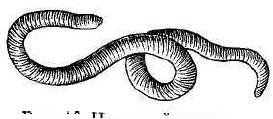 Рис. 16. Навозный червь.