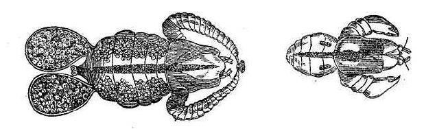 Рис. 2. Окунеед — самка и самец (увеличены).
