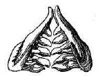 Рис. 129. Глоточные зубы пескаря (черныша), увелич.