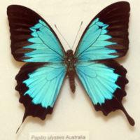 Рис.2.  Фото бабочки Papilio ulysses, крылья которой являются природным фотонным кристаллом.
