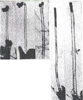 Рис. 1 - Углеродные нанотрубки, обнаруженные в 1952 г. сотрудниками ИФХЭ Л.В. Радушкевичем и В.М. Лу