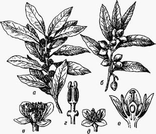 Лавр благородный: а ветка с цветками; б -ветка с плодами; в - мужской цветок; г - тычинка; д - женский цветок; е - продольный разрез женского цветка