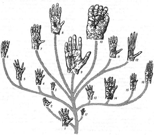 Форма кисти приматов: 1 - обыкновенный лемур; 2 - обыкновенный потто; 3 - обыкновенная игрунка; 4 - бурый, или черноголовый, капуцин; 5 - рыжий ревун; 6 - чёрная коата; 7 - орангутан; 8 - шимпанзе Швейнфурта; 9 - человек; 10 - горная горилла; 11 - обыкновенный сиаманг; 12 - яванский, или серебристый, гиббон; 13 - цейлонский макак; 14 - гамадрил; 15 -зелёная мартышка; 16 - абиссинский колобус, или гвереца; 17 - долгопят-привидение