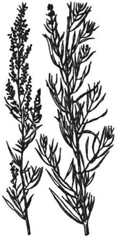 Полынь эстрагон; верхние части растения