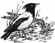 Розовый скворец: 1 - взрослый самец; 2 - молодая птица