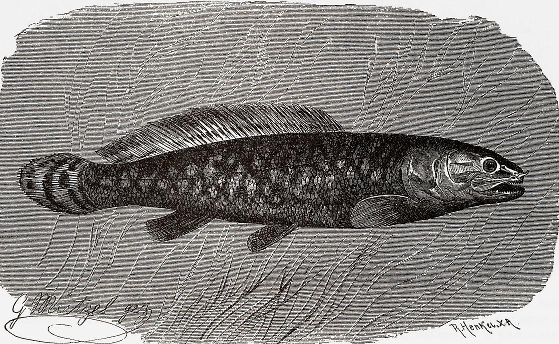 Амия, или ильная рыба (Amia calva)