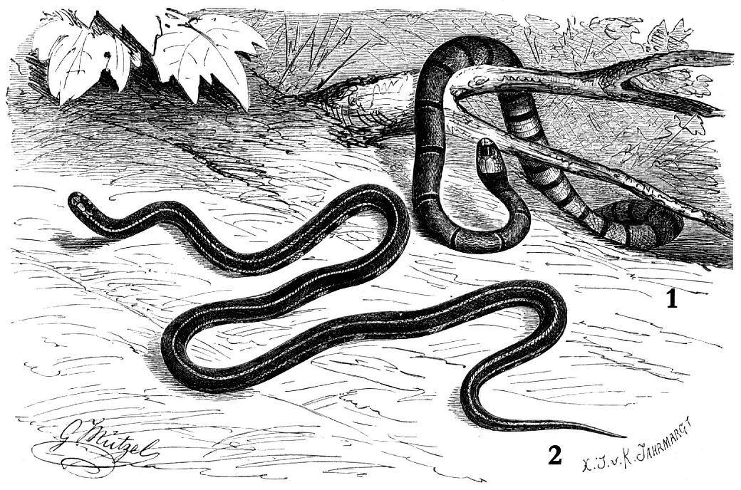 1 - Маклелландов украшенный аспид (Callophis macclellandi) 2 -Обыкновенная железистая змея (Maticora intestinalis)