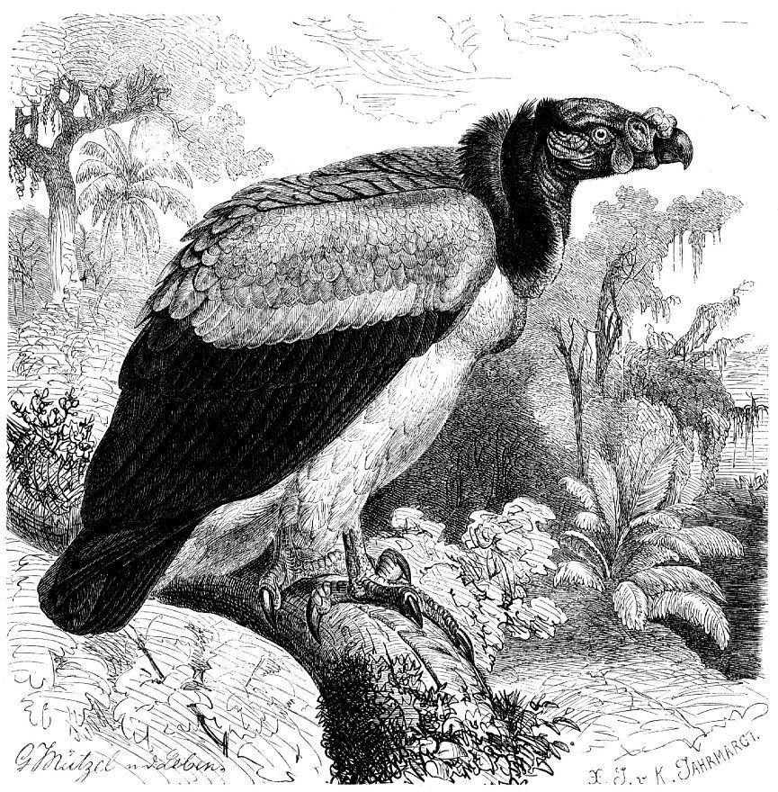 Королевский гриф (Sarcorhamphus papa)
