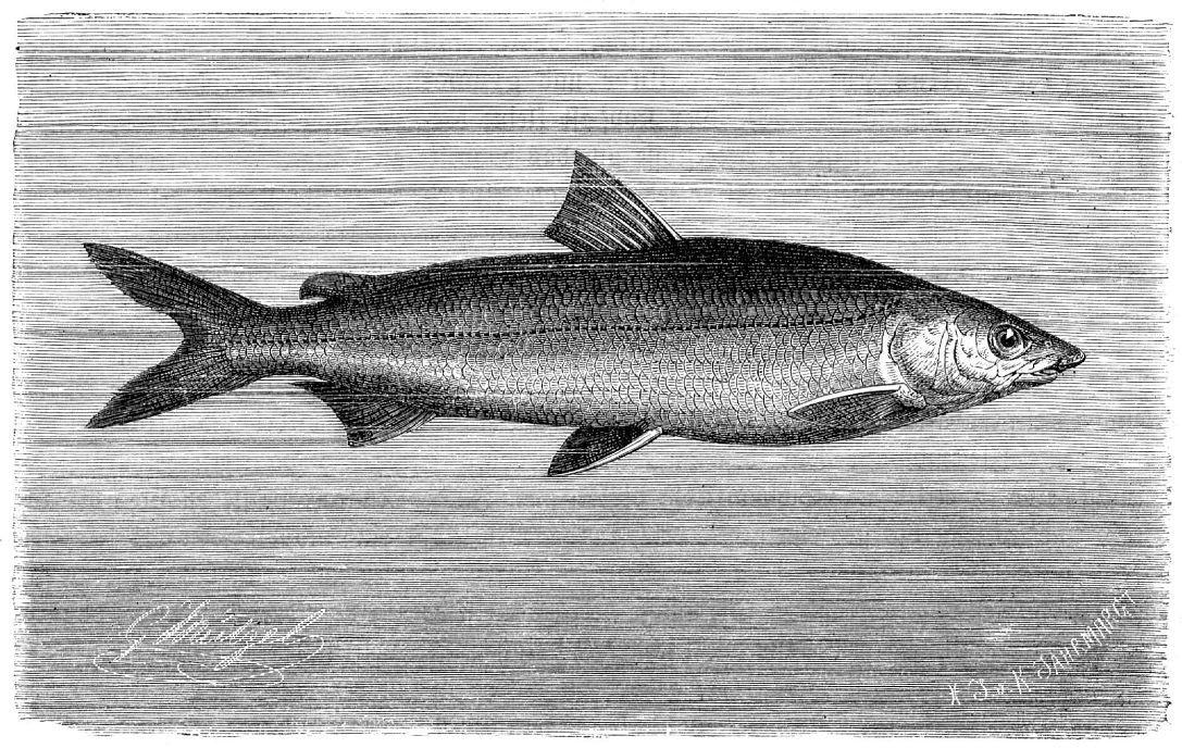 Морской сиг (Coregonus oxyrhynchus)