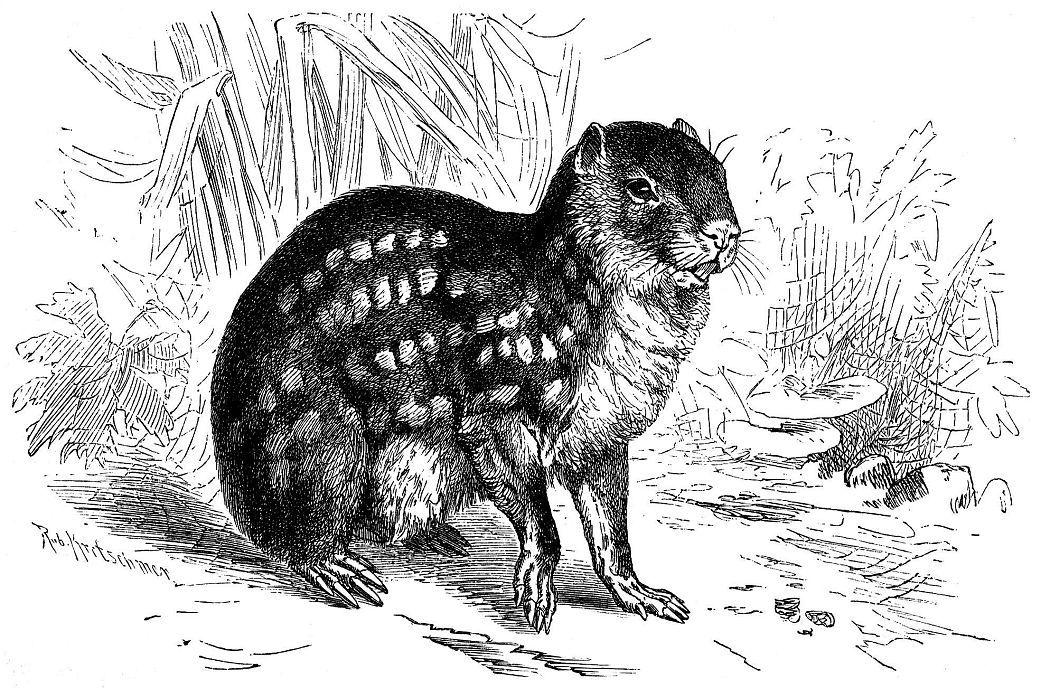 Пака (Cuniculus раса)