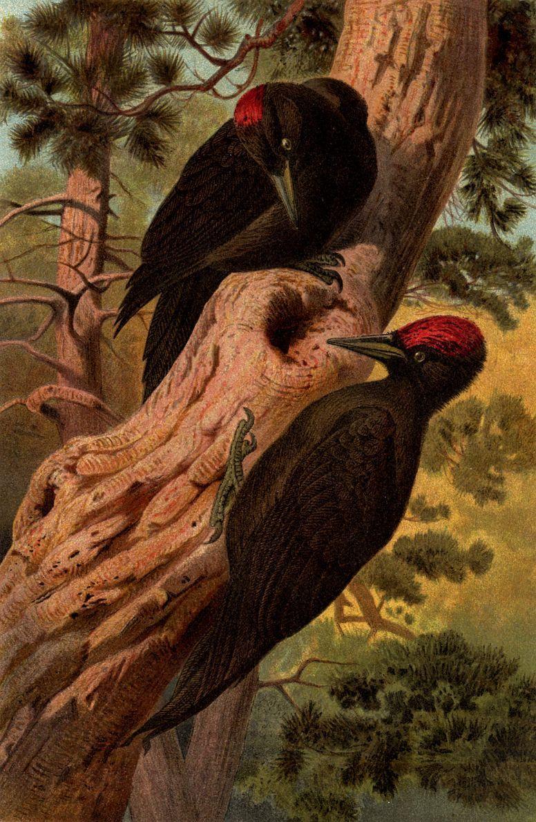 Желна (Dryocopus martins)