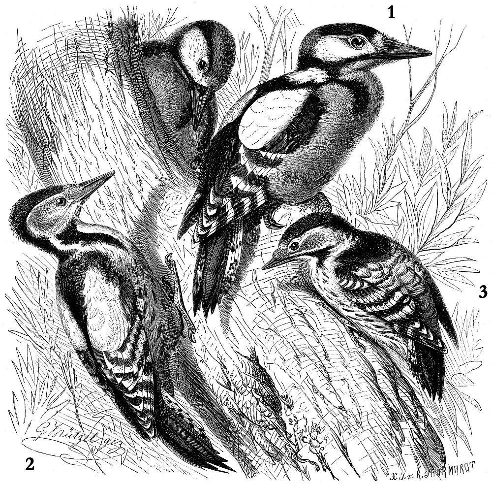 1 - Большой пестрый дятел (Dendrocopos major) 2 - Средний пестрый дятел (Dendrocopos medius ) 3 - Малый пестрый дятел (Dendrocopos minor)