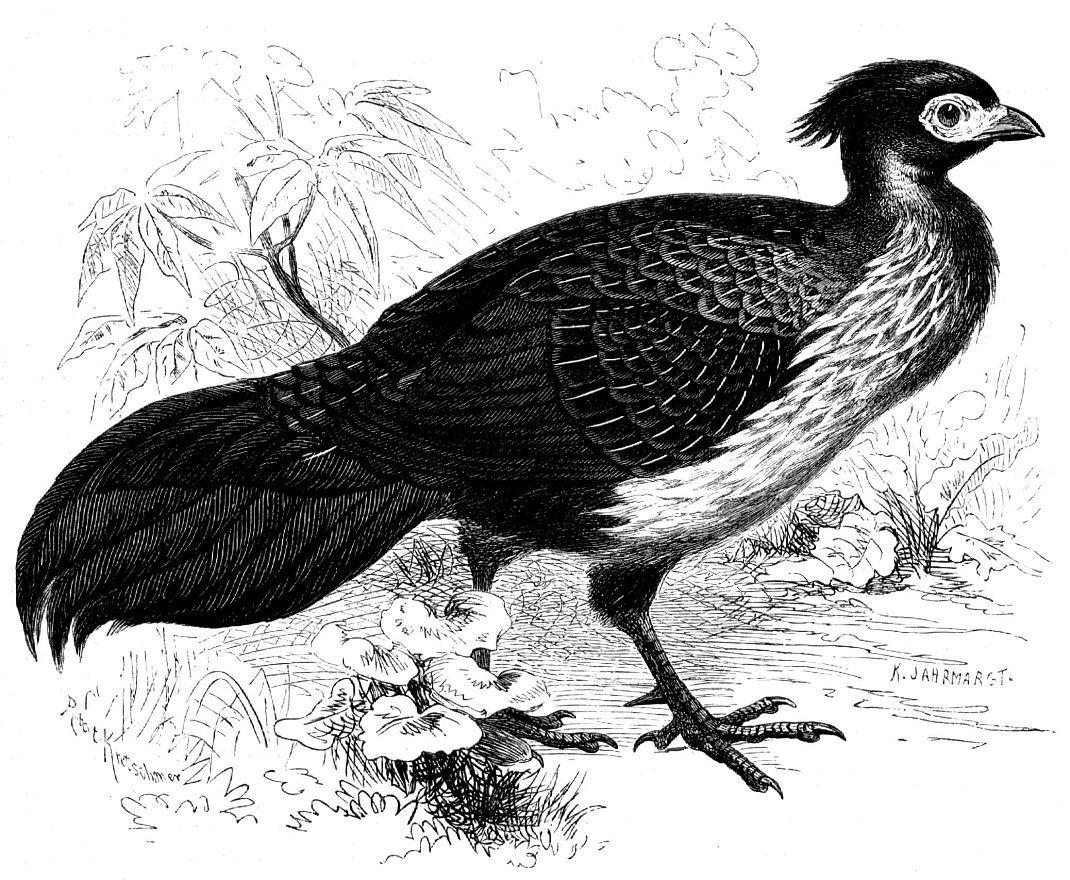 Гималайский фазан, или черная лофура (Lophura leucomelana)