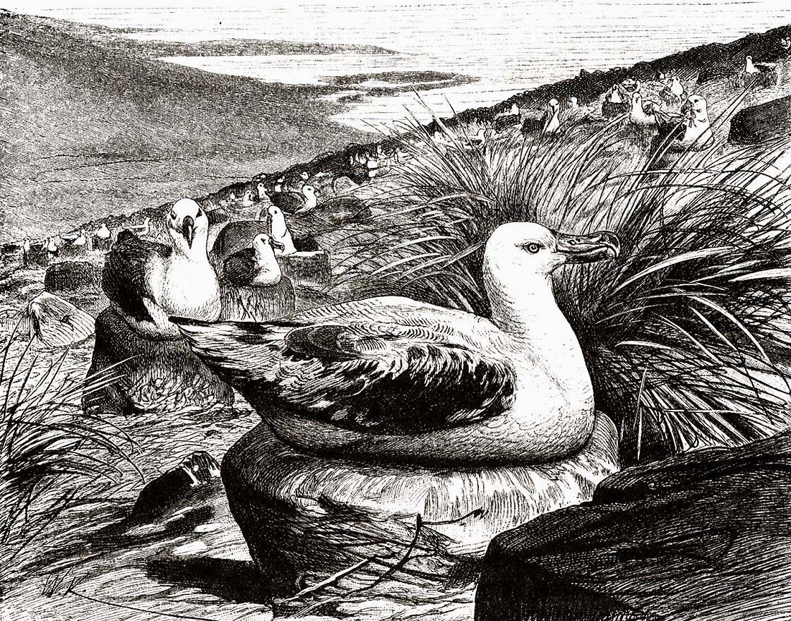 Странствующий альбатрос (Diomedea exulans)