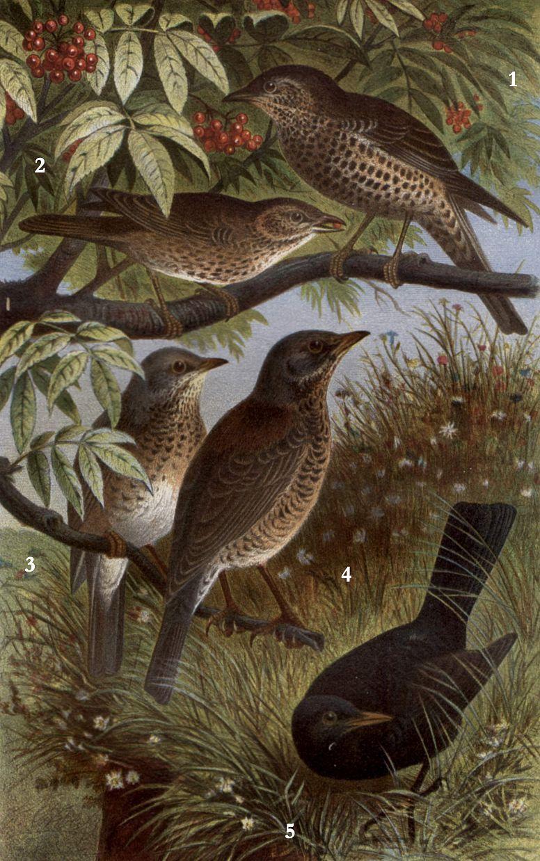 1 - Деряба (Turdus viscivorus) 2 - Белобровик (Turdus iliacus) 3 - Певчий дрозд (Turdus philomelos) 4 - Рябинник 5 - Черный дрозд (Turdus pilaris) (Turdus merula)