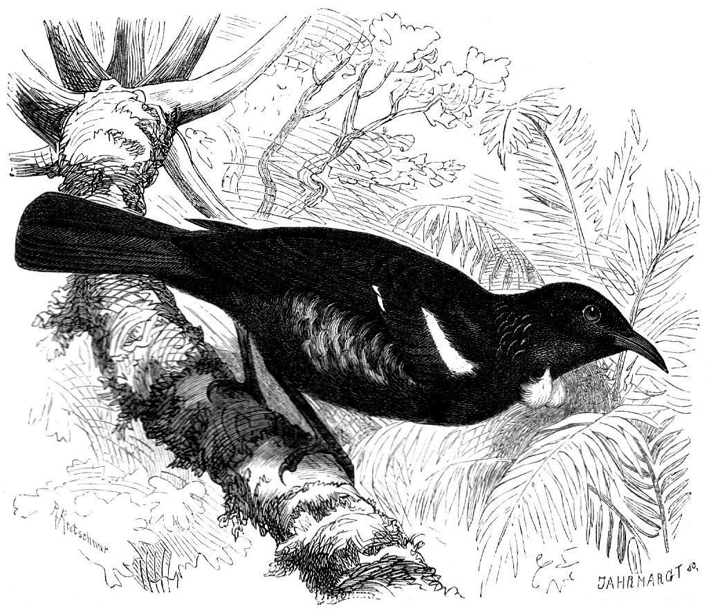 Новозеландский туи (Prostremadera novaeseekmdiae)