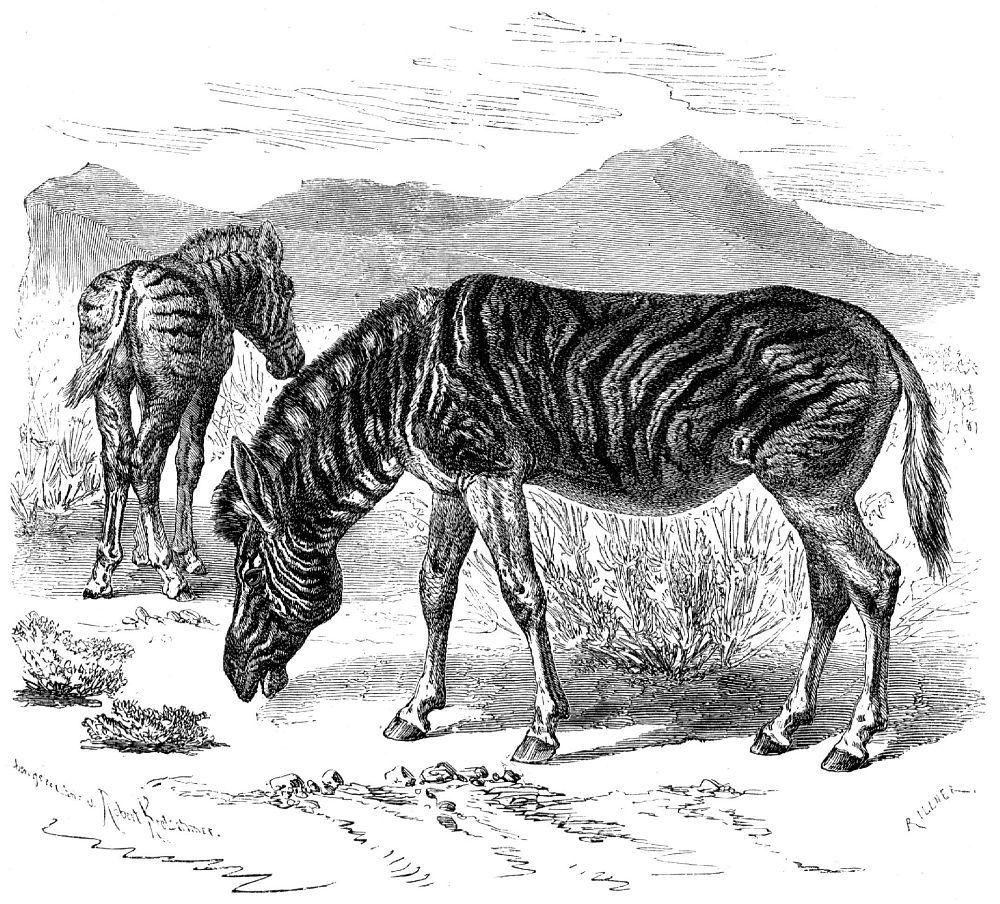 Саванная, или бурчеллова, зебра (Equus burchelli)