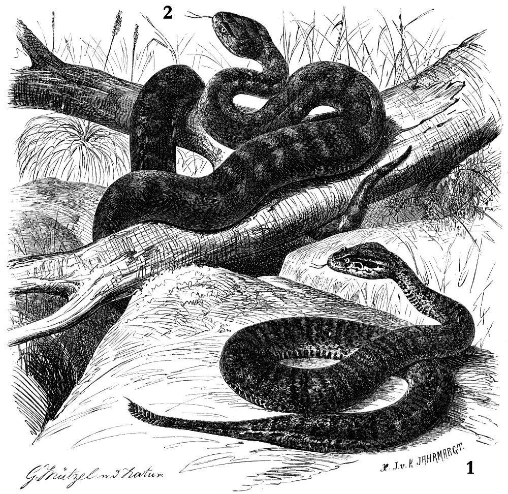 1 - Короткий эхиопсис (Echiopsis curia) 2 - Гадюкообразная смертельная змея (Acanthophis antarcticus)