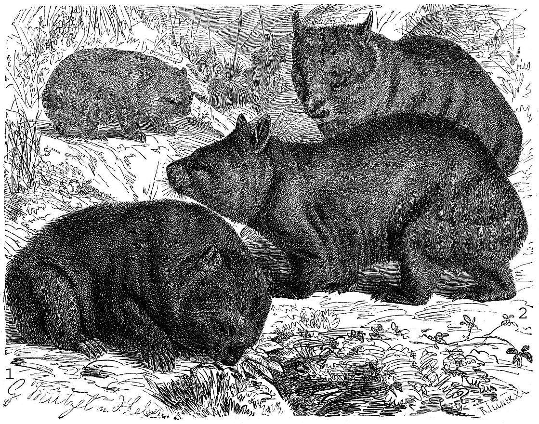 1 - Короткошерстный вомбат (Vomhatus ursifius), 2 - Длинношерстный вомбат (Lasiorhimts latifrotis)