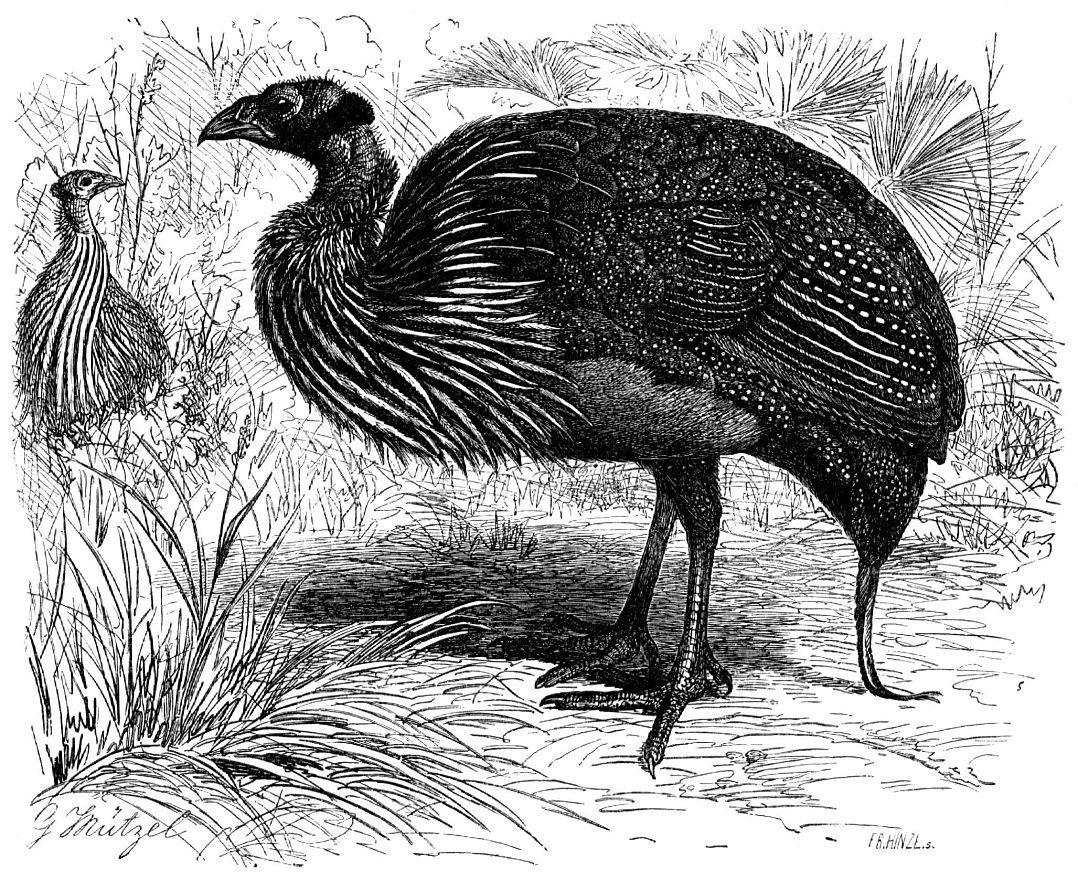 Грифовая цесарка (Aeryllium vulturinum)