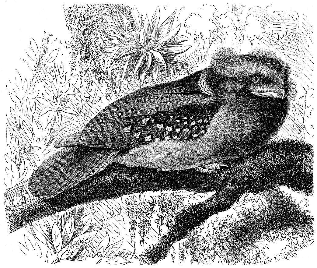Ушастый лягушкорот (Batrachostomus auritus)