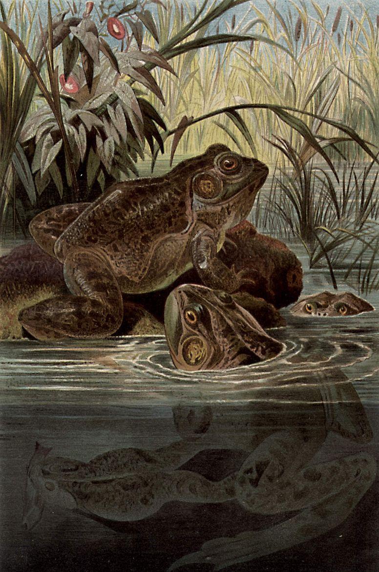 Лягушка-бык (Rana catesbiana)