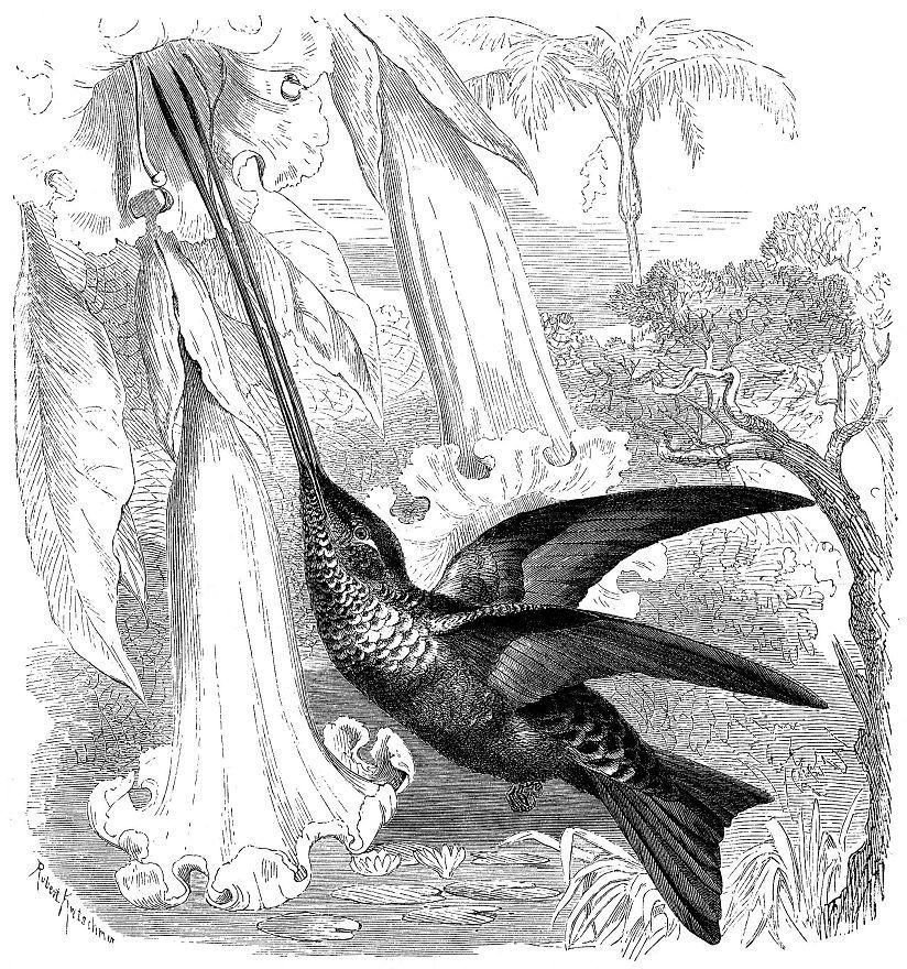 Колибри-мечеклюв (Ensifera ensifera)