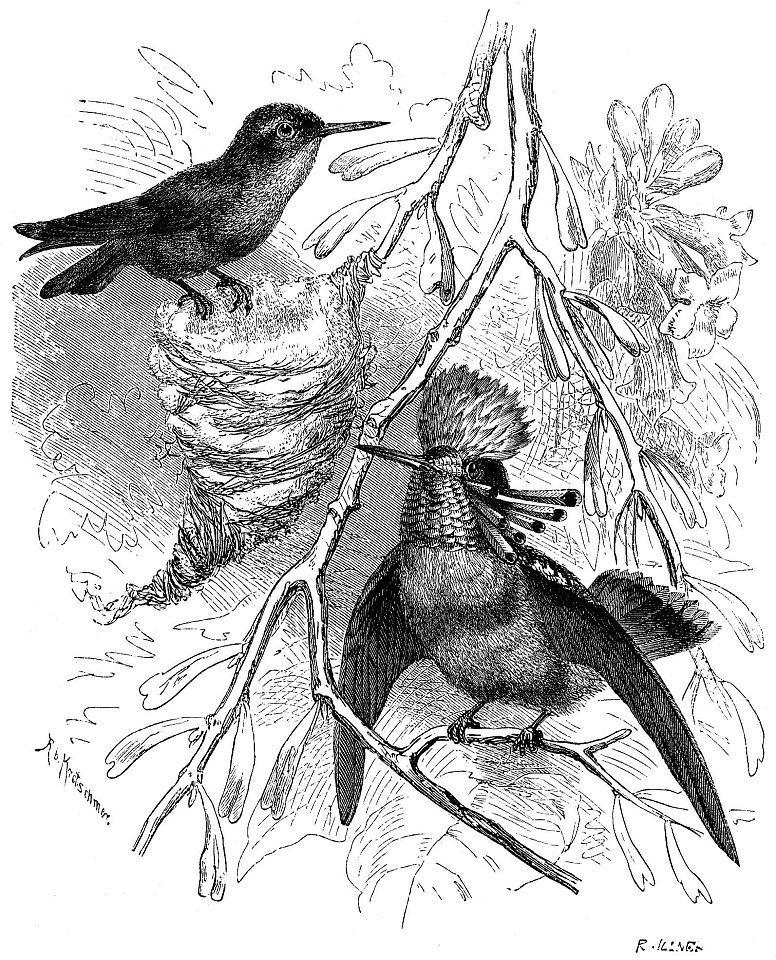Великолепный эльф (Lophornis ornata)
