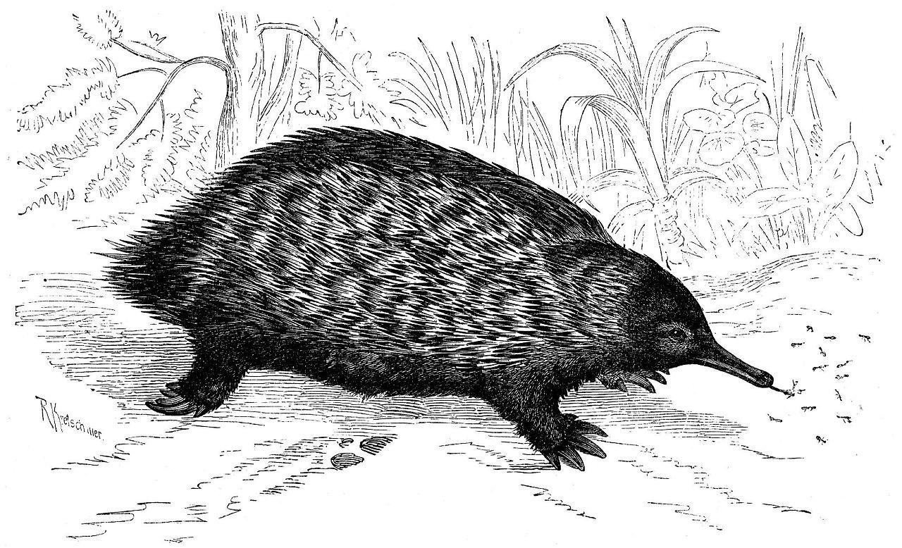 Австралийская ехидна (Tachyglossus aculeatus)