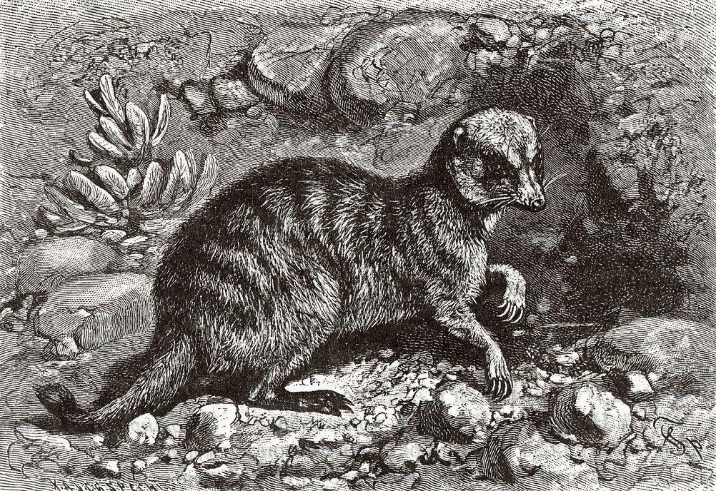 Суриката (Suricata suricata)