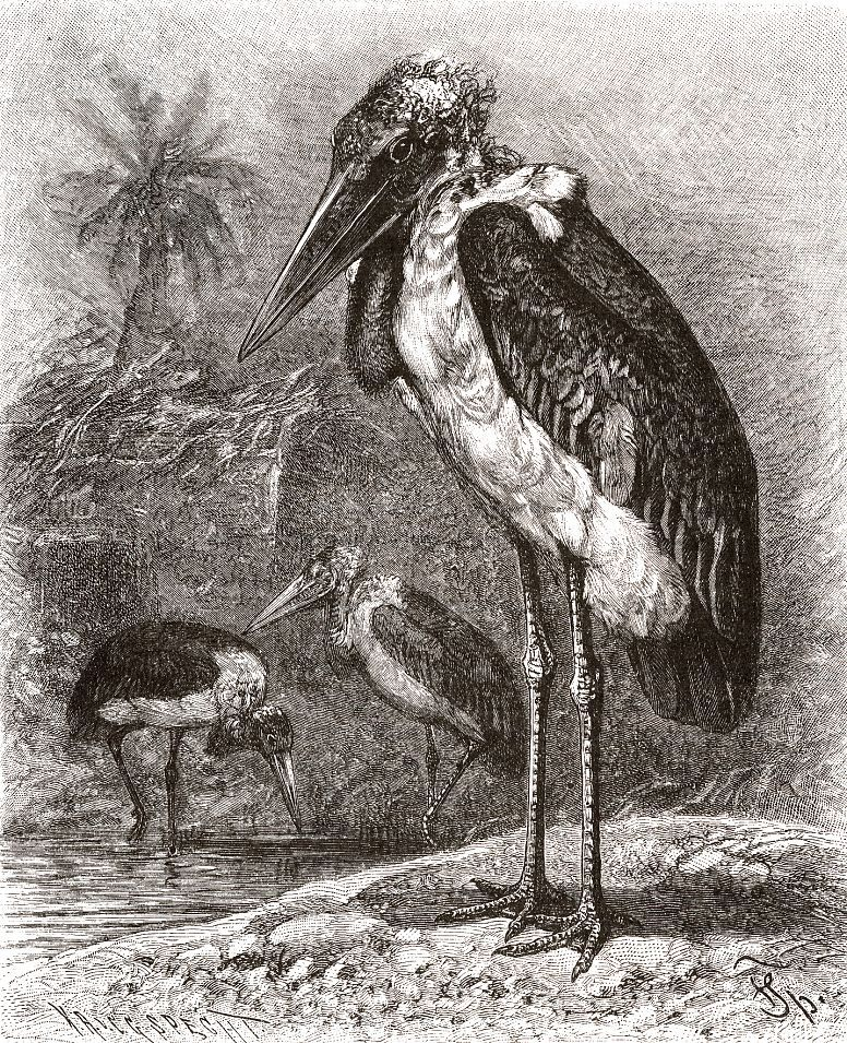 Африканский марабу