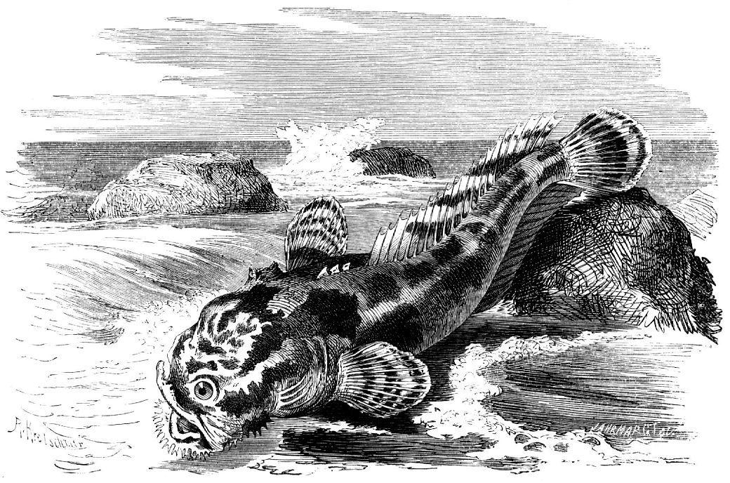 Жабун урчащий (Batrachus grunniens)