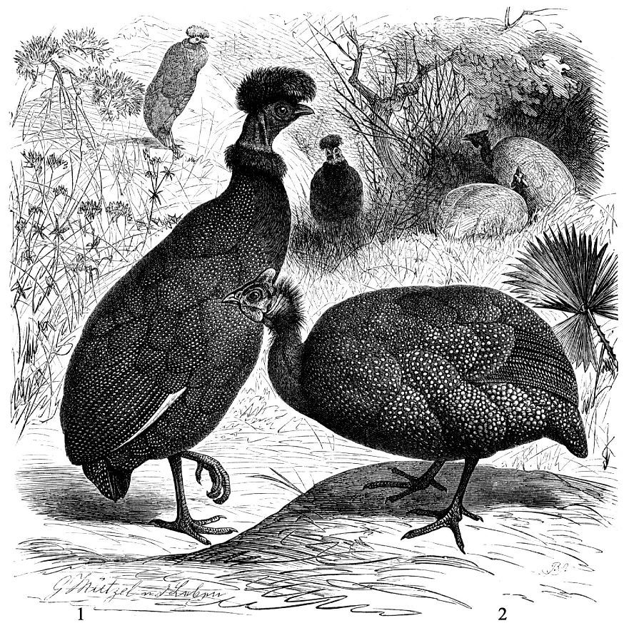 1 - Обыкновенная цесарка (Numida meleagris) 2 - Хохлатая цесарка (Guttera edouardi)