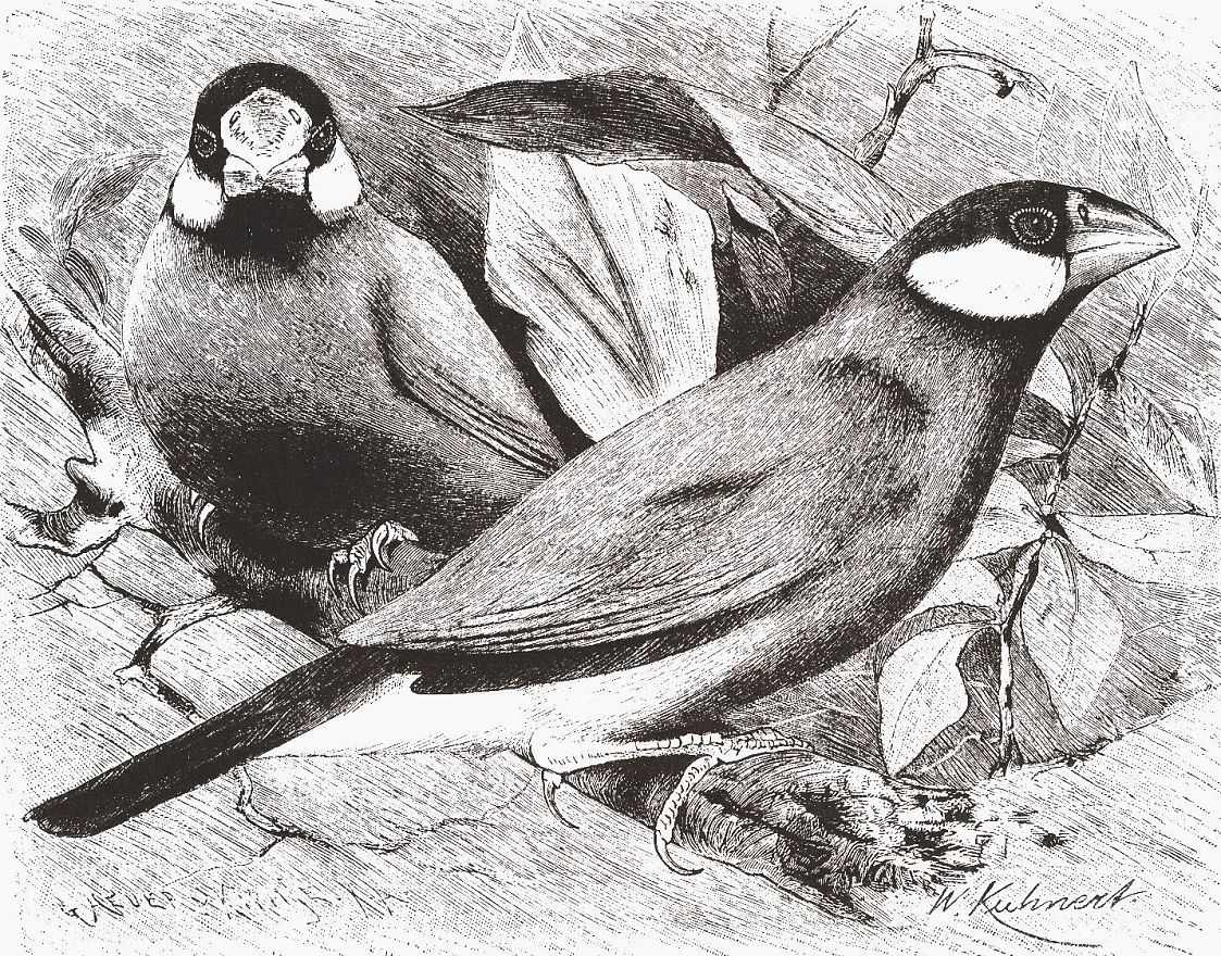 Рисовка (Padda oiyzivora)