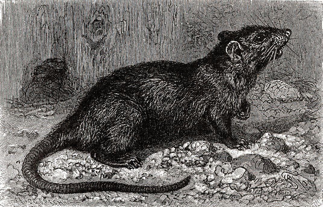 Черная крыса (Rattus rattits)