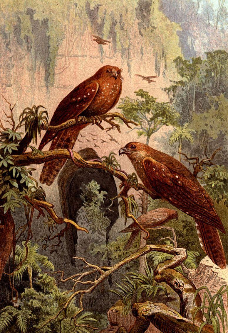 Гуахаро (Steatornis caripehsis)
