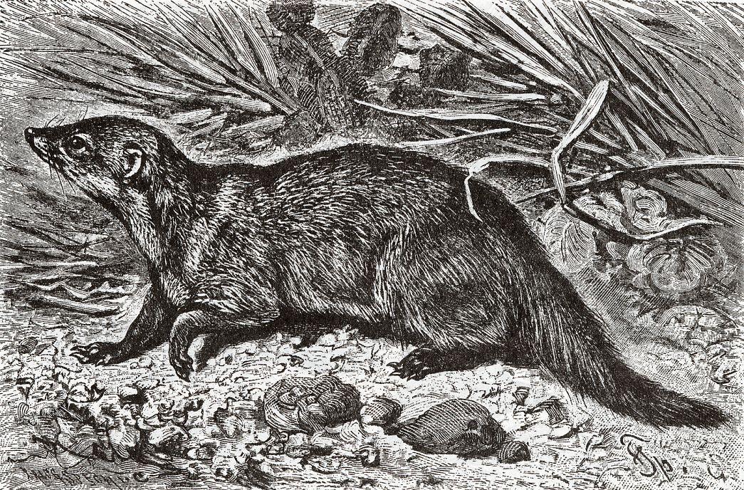 Длинноносый кузиманзе (Crossarchus obscurus)