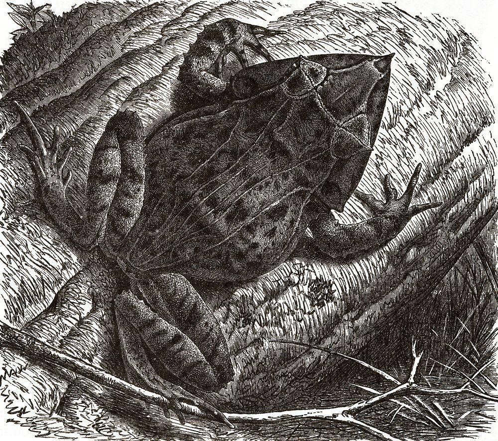 Угловатая лягушка (Cetatobatrachus guentheri)