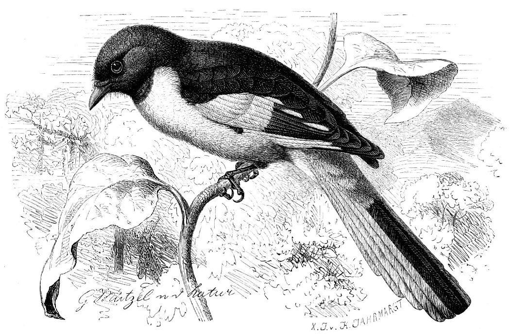 Черно-красный длиннохвостый личинкоед (Pericrocotus ethologus)