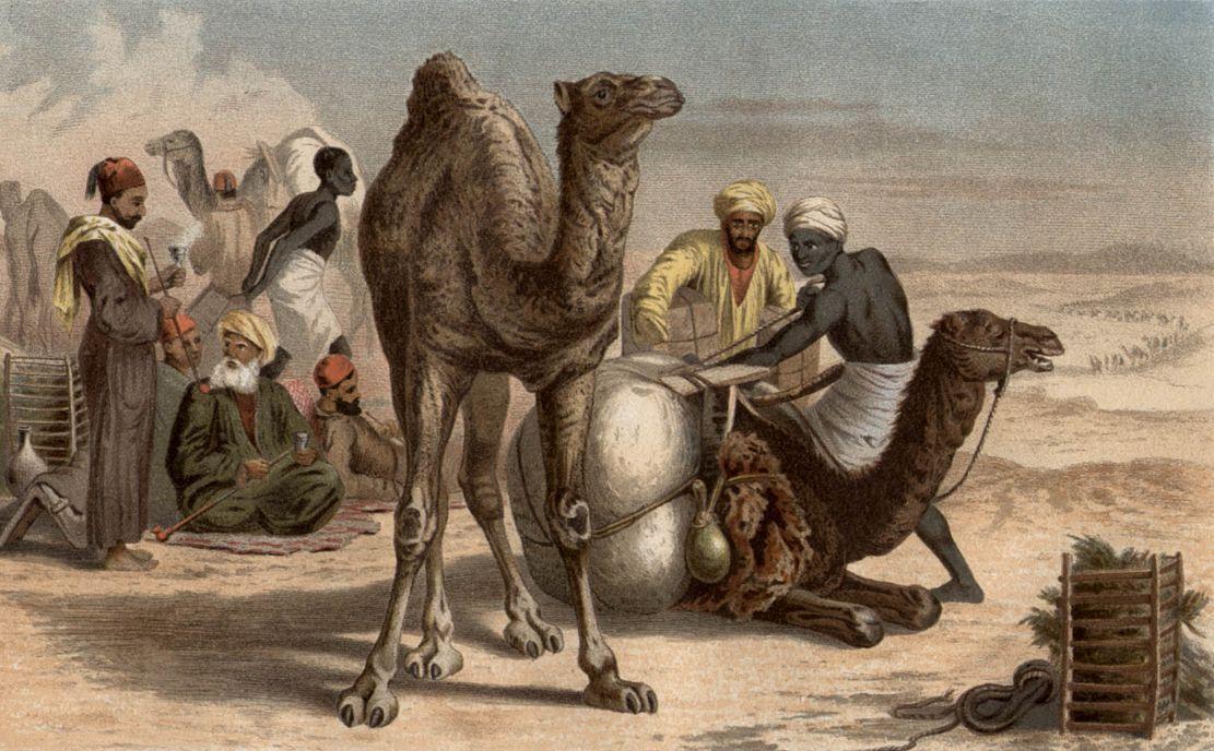 Дромедар, или одногорбый верблюд (Camelus dromedarius)