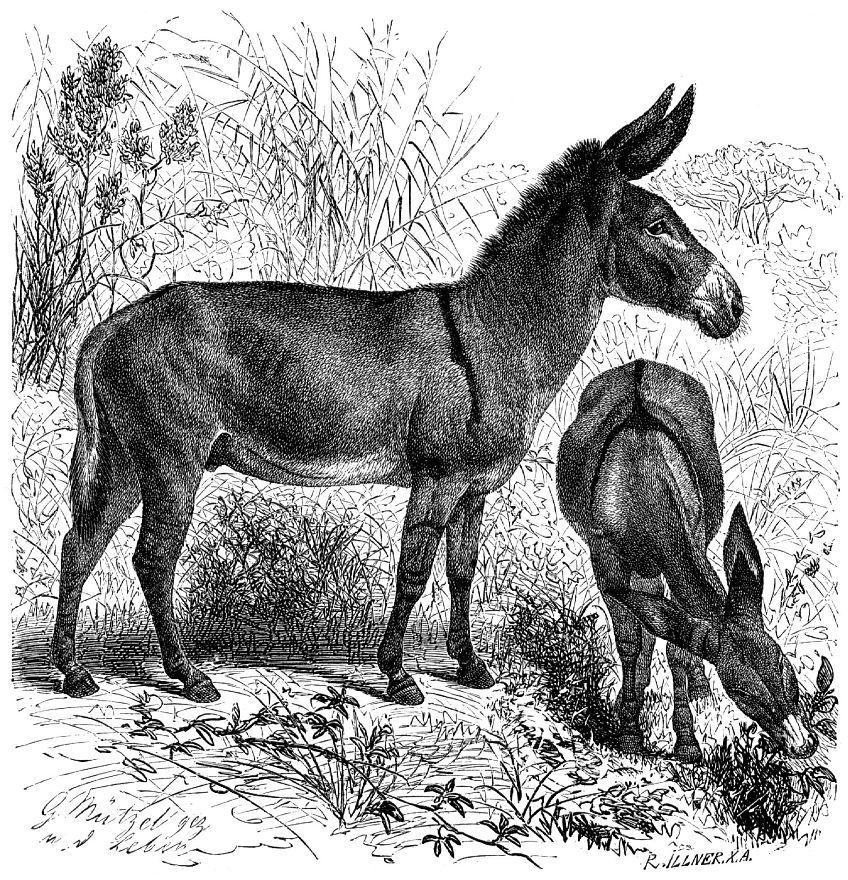 Дикий осел (Equus asimis)