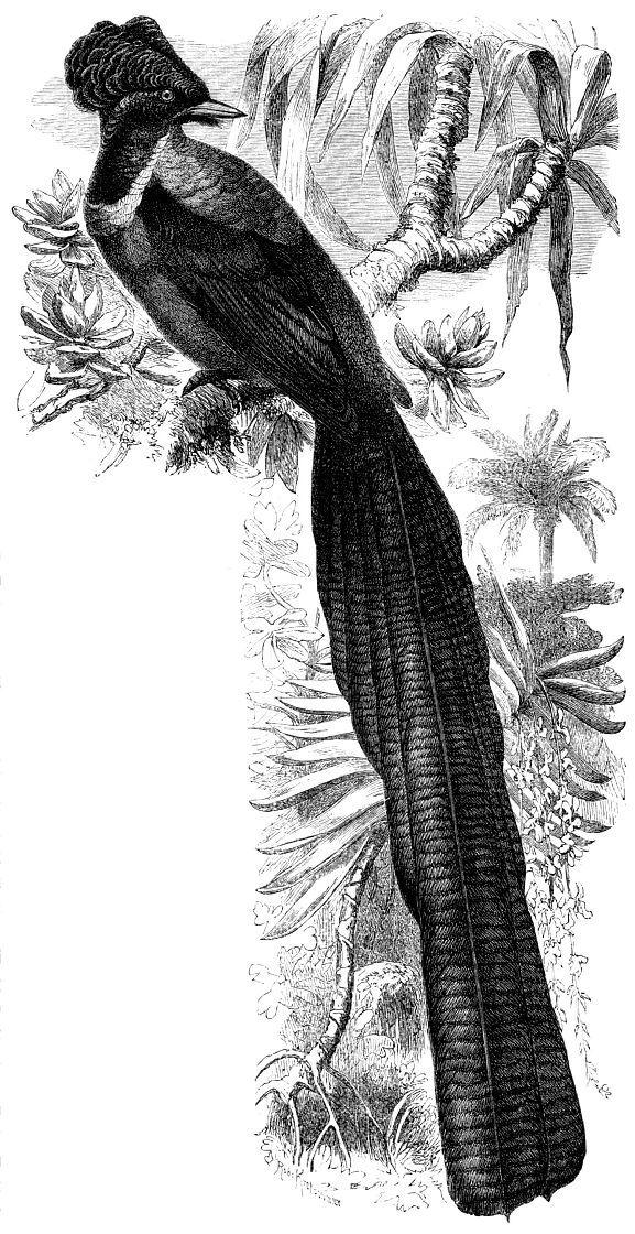 Черногорлой астрапии (Astrapia nigra)