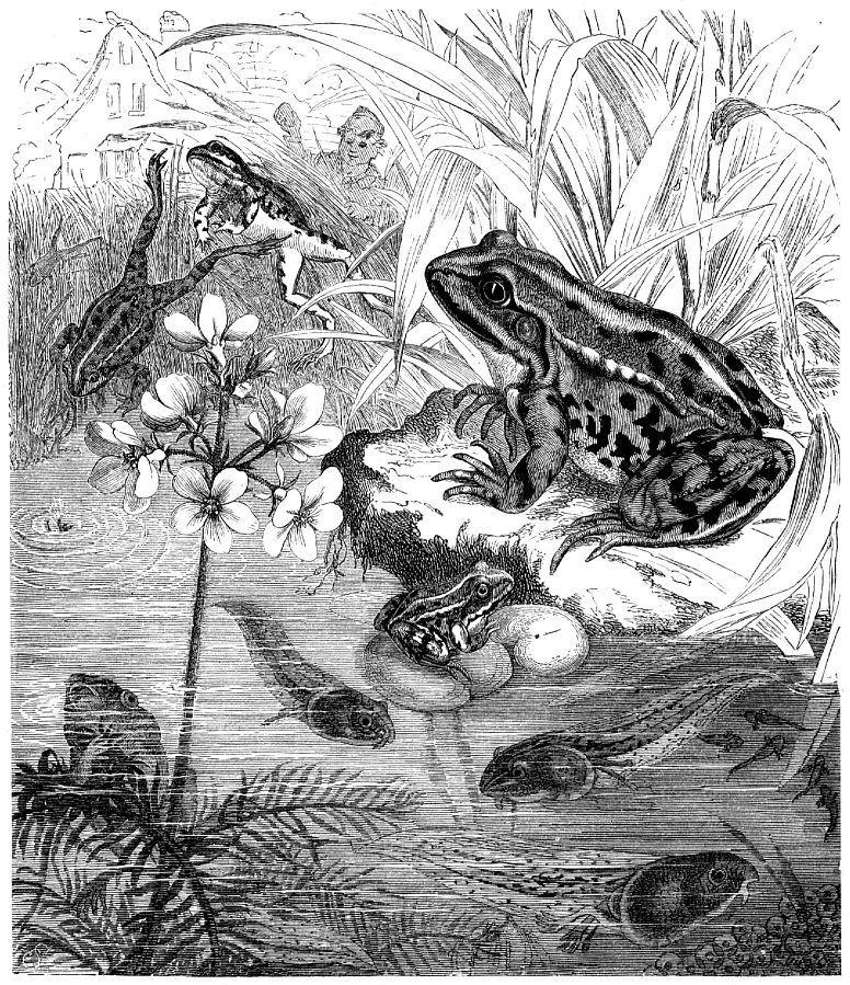 Прудовая лягушка (Rana lessonae)