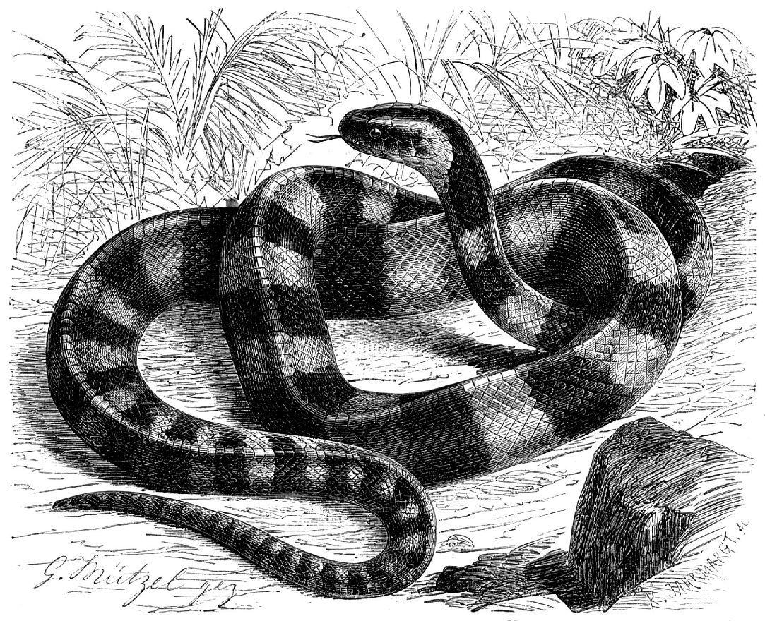 Ленточный крайт (Bungarus fascialus)