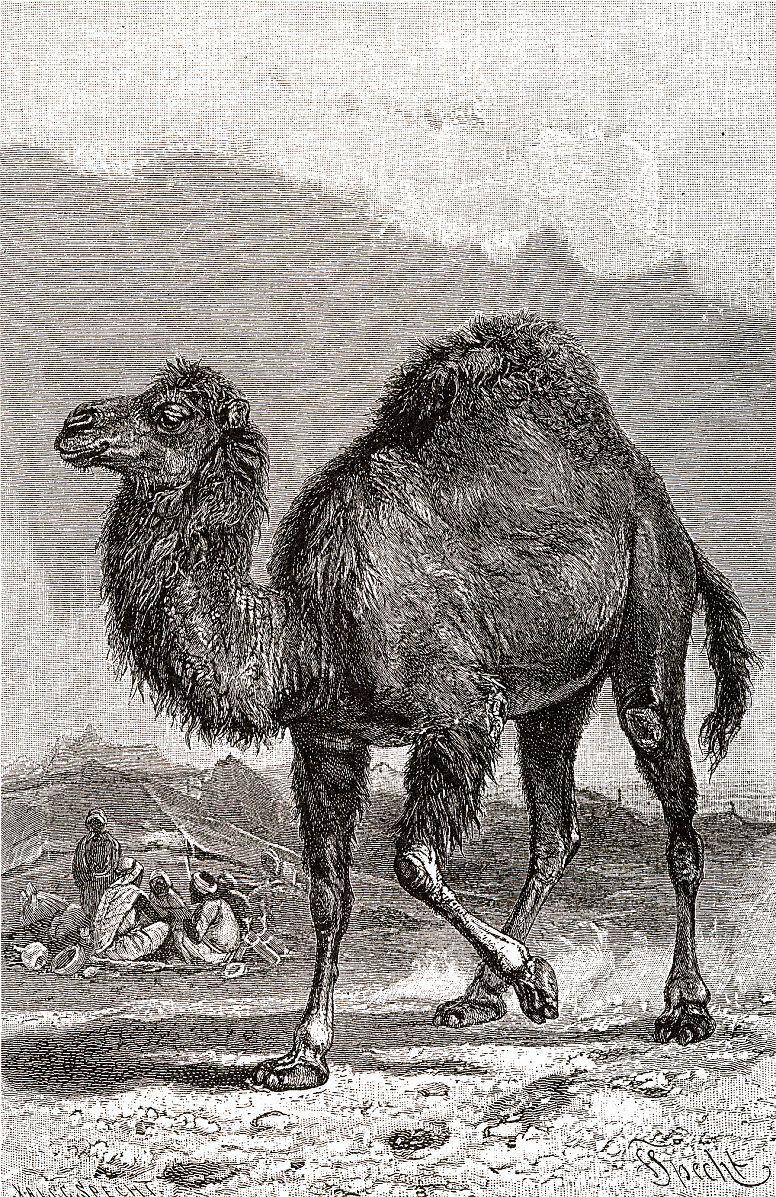 Дромедар, или, одногорбый верблюд