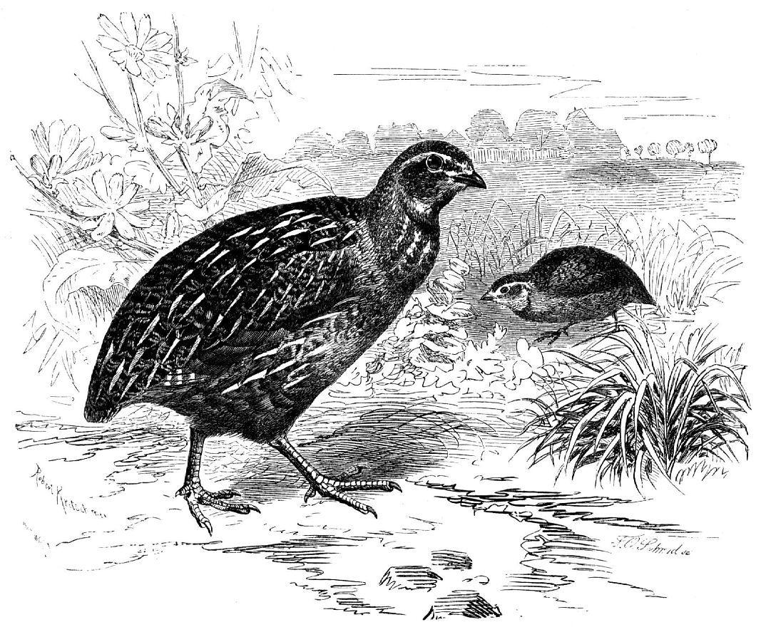 Обыкновенный перепел (Cotиmix coturnix)
